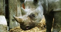 New black rhino at Port Lympe