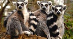 Lemur - West Midlands Safari Park