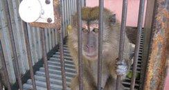 Stowaway Monkey