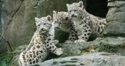 snow leopard cubs