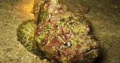 The deadly stonefish!