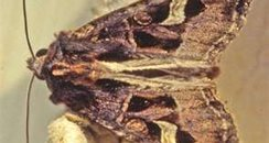 Flame Brocade Moth