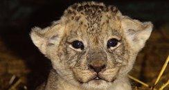 Longleat lion cub Simba