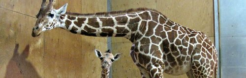 Baby giraffe and mum at Noah's Ark Zoo Farm