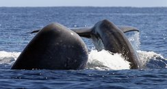 Whale Azores Photos