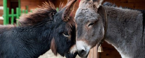 Christmas Donkeys