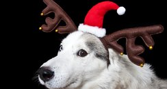 Dog in antlers