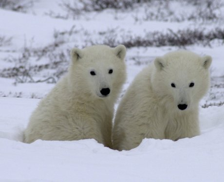 Two baby polar bears