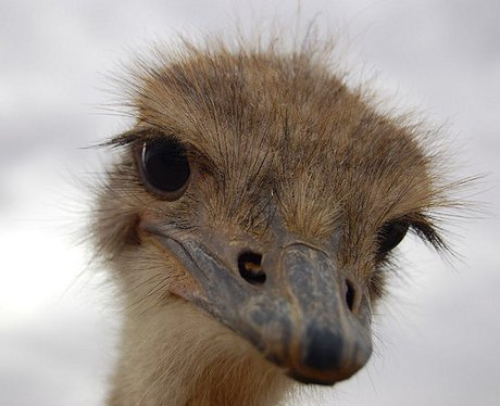 Cute Ostrich Pictures Ostrich Close up Cute