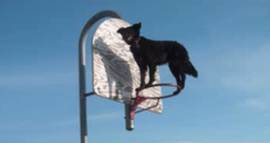 Border Collie balancing on a basketball hoop