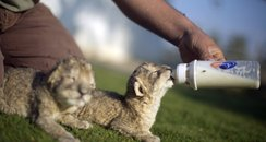 Lion cubs drinking milk