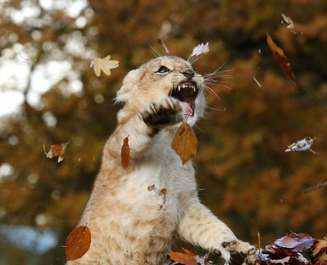 a lion cub playing in the leaves