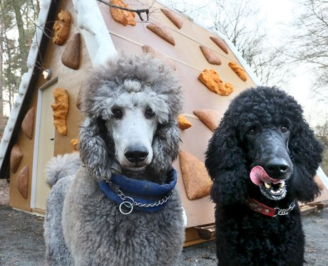two poodles licking their lips