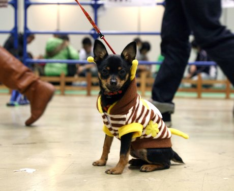 A dog in a stripy yellow and brown jackets