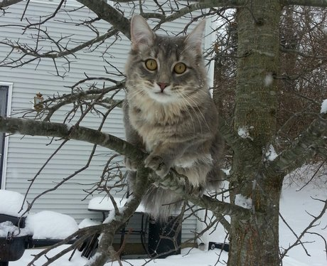 A grey cat in a tree