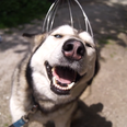 husky dog getting head massaged