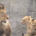 Cute Lion Cubs Meet Their Dad