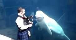 Beluga Whale Is Amazed By Bagpipe Music
