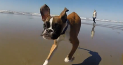 A Boxer running on the beach