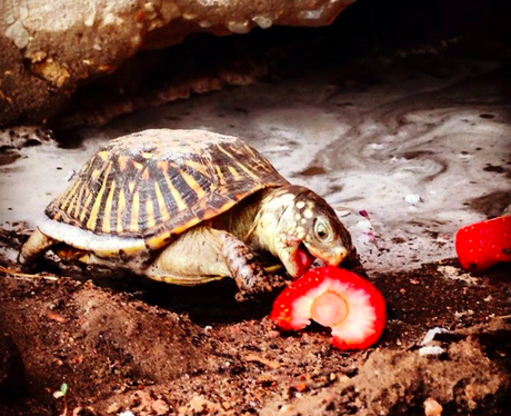 A tortoise eating strawberries