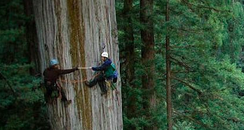 Men climbing a red wood tree