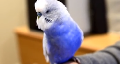Budgie That Impersonates R2D2