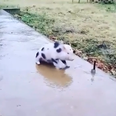 Piglet sliding on ice