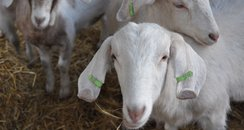 Goats for votes event at UEA