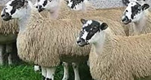 Photo of sheep - example of those stolen from a fi