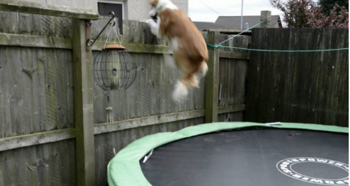 Dog On Trampoline Video
