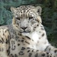 Paradise Wildlife Park - Snow Leopard