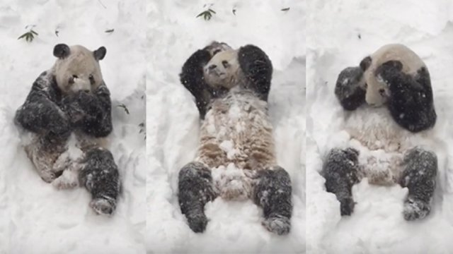 This Panda Playing In The Snow Will Make You Smile Heart