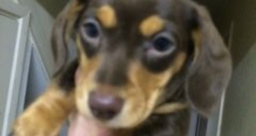 Ralph, stolen puppy