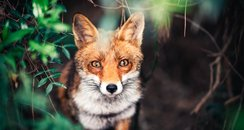 Fox Optical Illusion