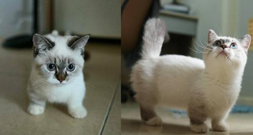 Pooky Munchkin Kitten