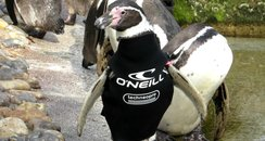 Ralph the penguin wetsuit at Marwell Zoo